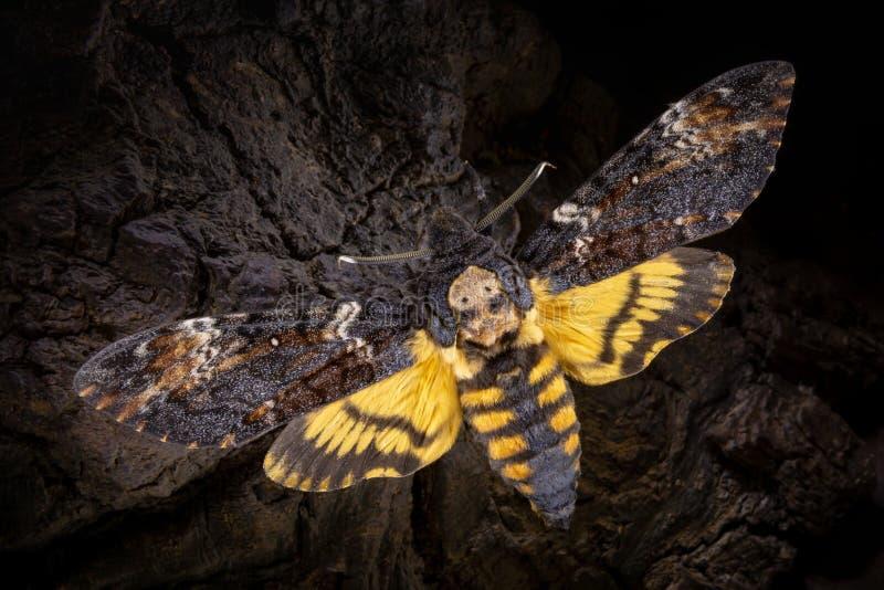 在木背景的Acherontia atropos 图库摄影