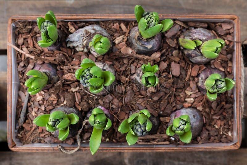 在木花盆的春天增长的风信花电灯泡 免版税库存照片