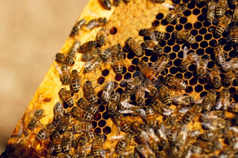 在木蜂箱的接近的蜂窝与对此的工作的移动的蜂 养蜂农厂概念 免版税库存图片