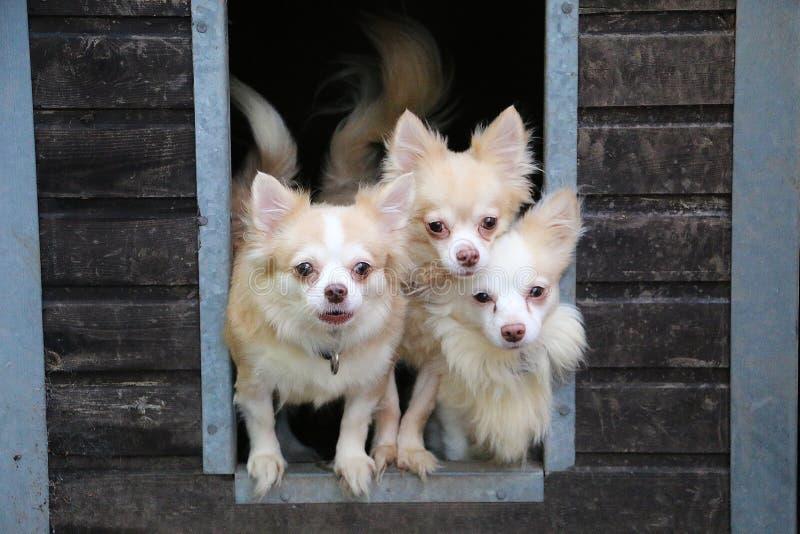 在木议院庭院之外的小小组奇瓦瓦狗Looing 图库摄影