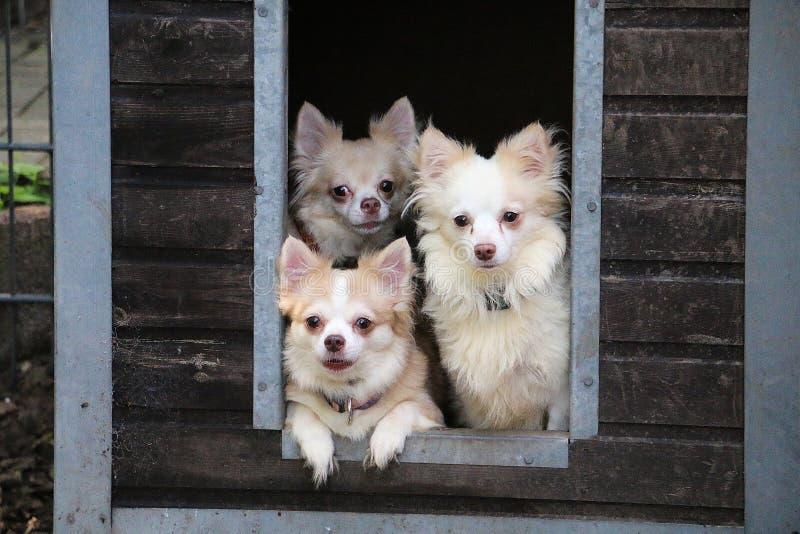 在木议院庭院之外的小小组奇瓦瓦狗Looing 免版税库存图片