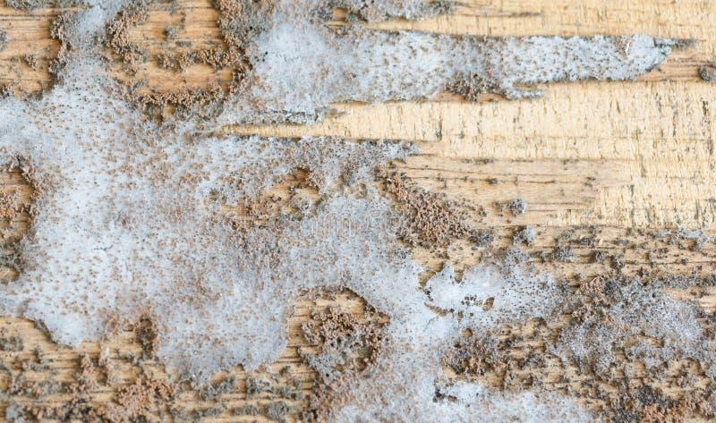 在木头的厚实的模子纹理 图库摄影