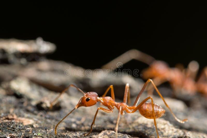 在木头的宏观红色蚂蚁 免版税库存图片