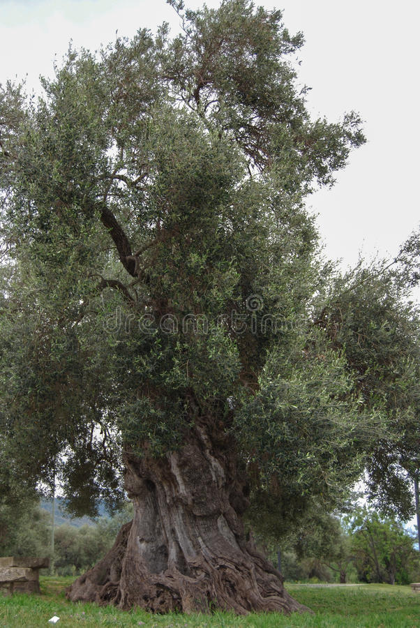 在木头的百岁人橄榄树 库存图片