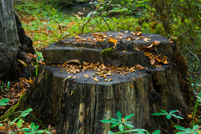 在木头的老腐烂的残余部分 库存图片
