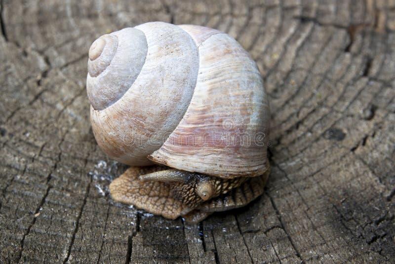 在木头的蜗牛 免版税图库摄影