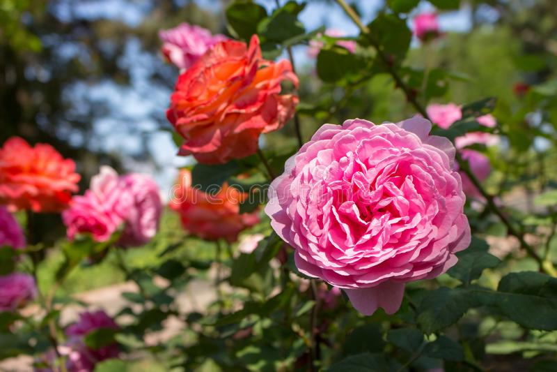 在未聚焦的背景的美丽的桃红色玫瑰色花 开花的玫瑰在夏天庭院里 花卉爱和浪漫史标志 库存照片