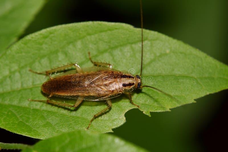 在朴树果叶子的德国蟑螂 库存照片