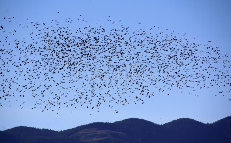 在杂技大量的椋鸟 库存照片
