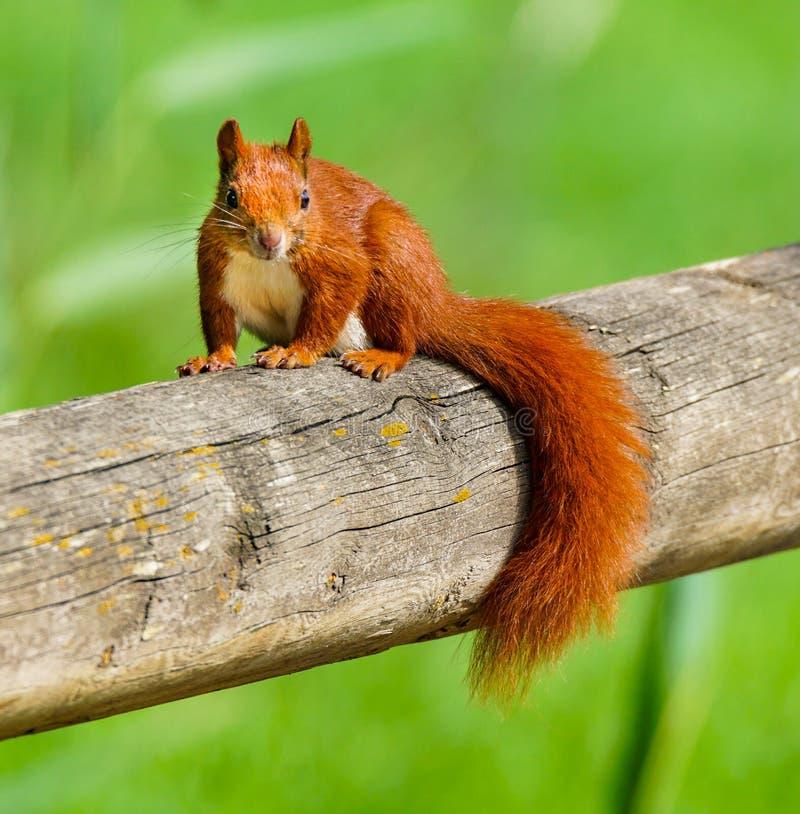 在杆的好奇红松鼠 免版税库存图片