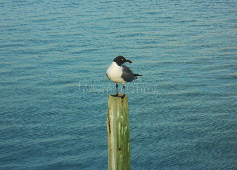 在杆的海鸥 免版税图库摄影