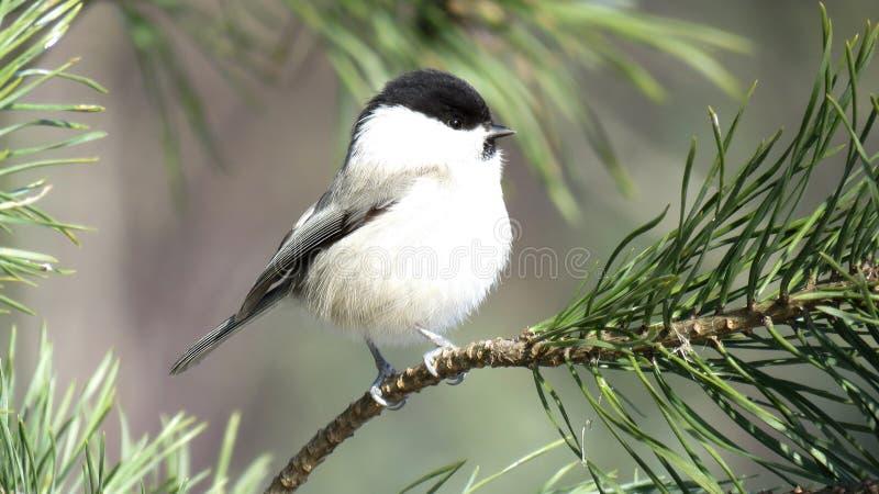 在杉木分支栖息的杨柳山雀 图库摄影