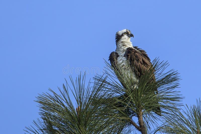 在杉木分支栖息的白鹭的羽毛 免版税库存图片