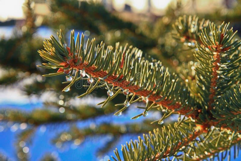 在杉木分支的水滴在一个温暖的春日反射。 免版税图库摄影