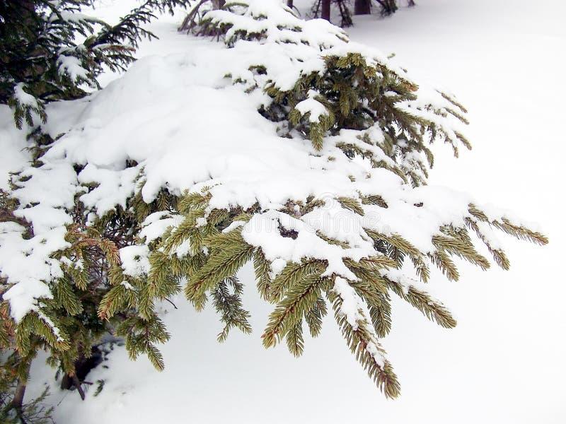 在杉木叶子的雪 免版税库存照片