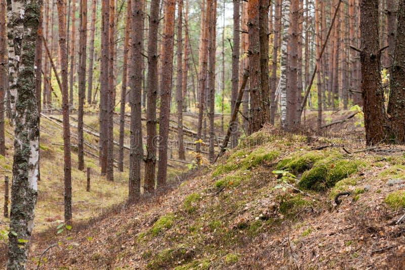 在杉木森林的山沟秋天 免版税图库摄影