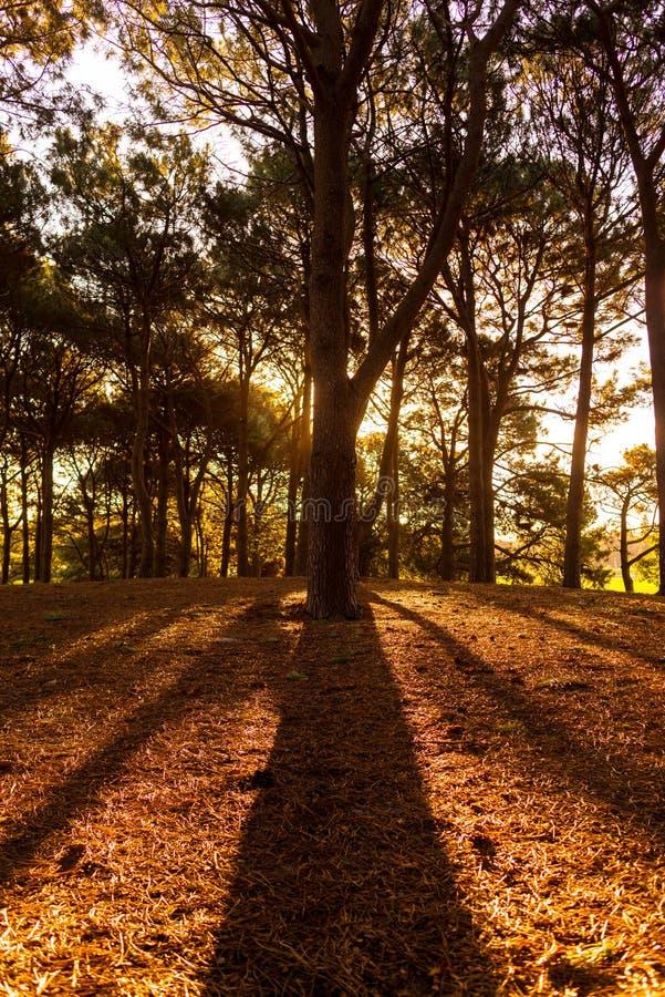 在杉木森林里现出轮廓杉树线  库存照片