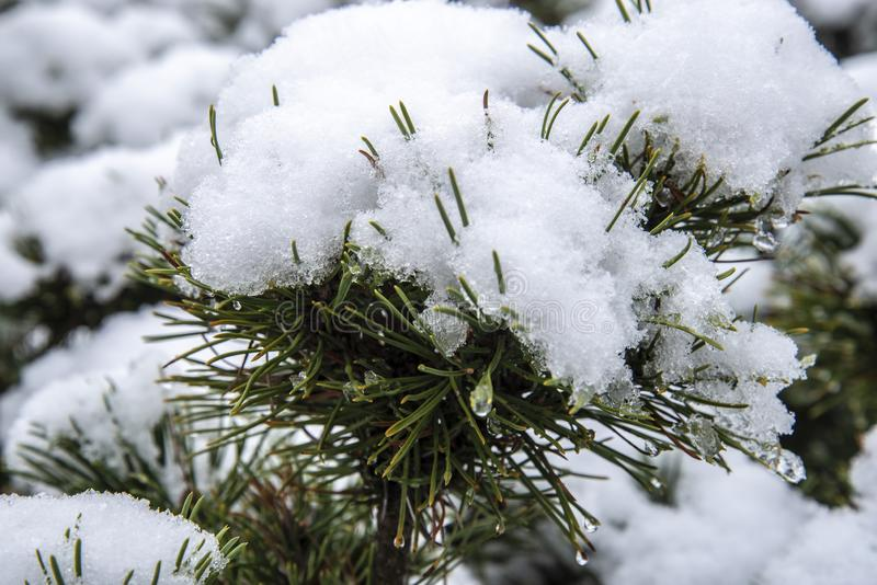 在杉木灌木的第一冬天雪 免版税图库摄影
