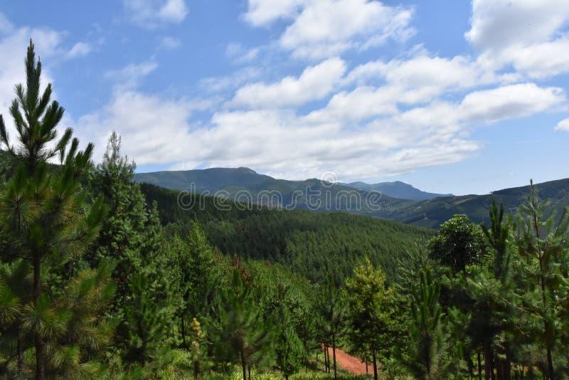 在杉木种植园的看法 图库摄影