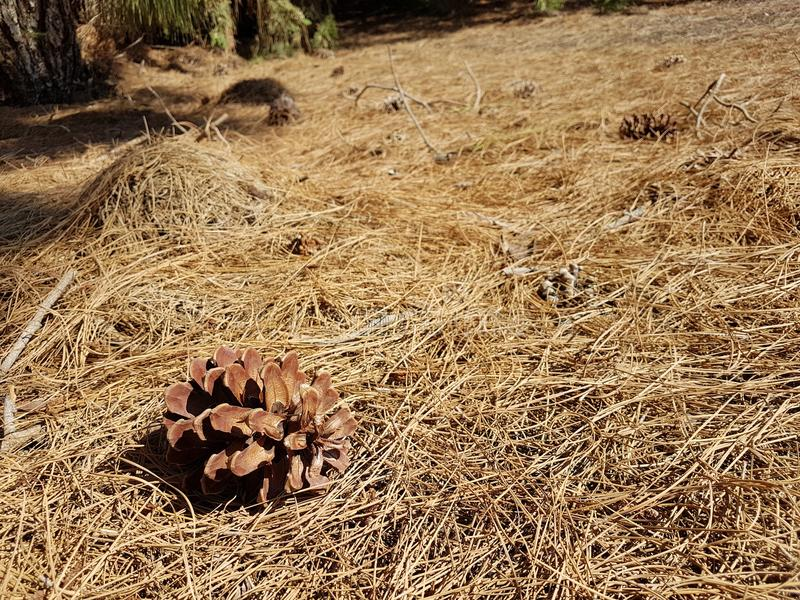 在杉木针床上的一个杉木锥体在褐色树荫下  图库摄影