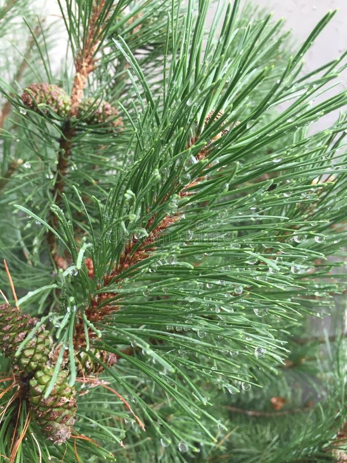 在杉木针的水滴 免版税图库摄影