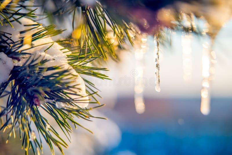 在杉木,自然宏指令细节的冰柱 库存照片