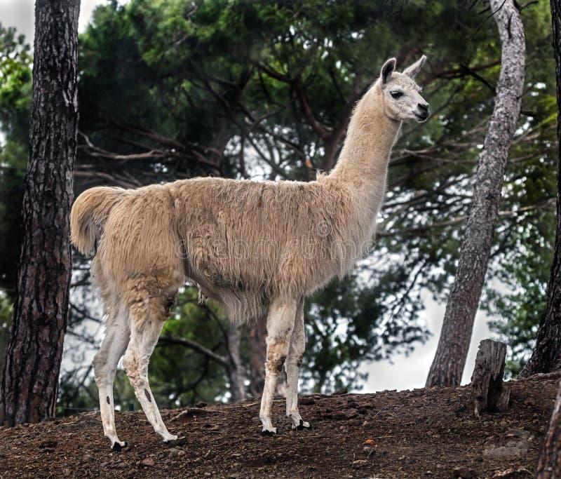 在杉木1之间的骆马 免版税库存图片