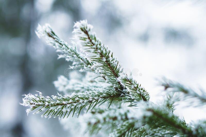 在杉树叶子的树冰在下雪在冬景花园 云杉结冰有雪剥落背景 免版税库存图片