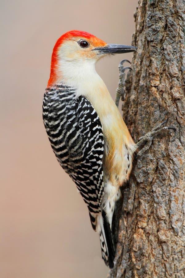 在杉树的啄木鸟 免版税库存照片