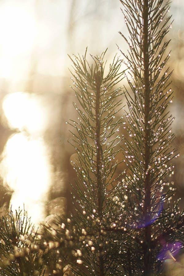 在杉树的熔化的雪 免版税库存照片