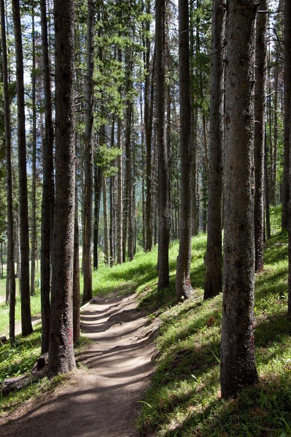 在杉树的科罗拉多落矶山脉供徒步旅行的小道在Vail附近 免版税库存照片