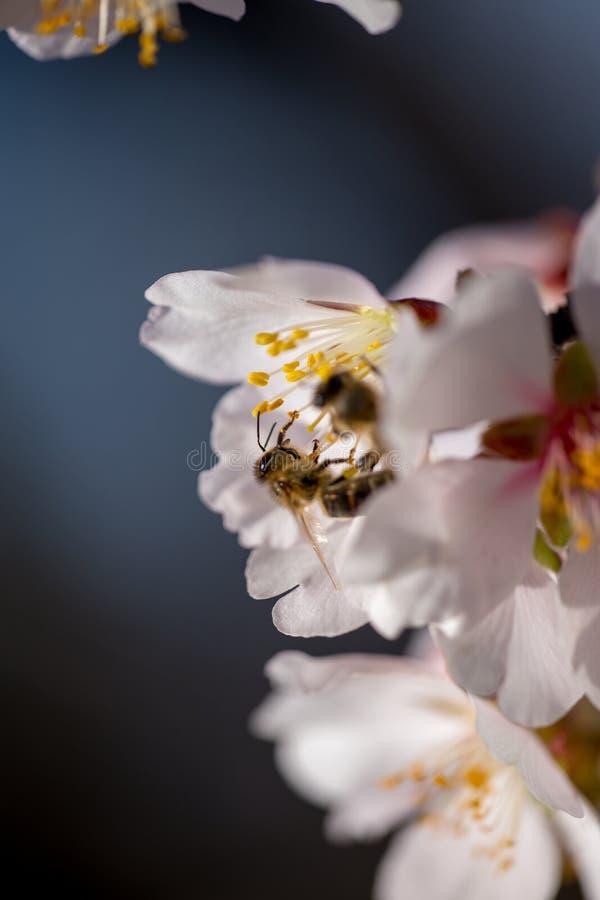 在杏仁的花宏观春季背景的蜂 库存照片