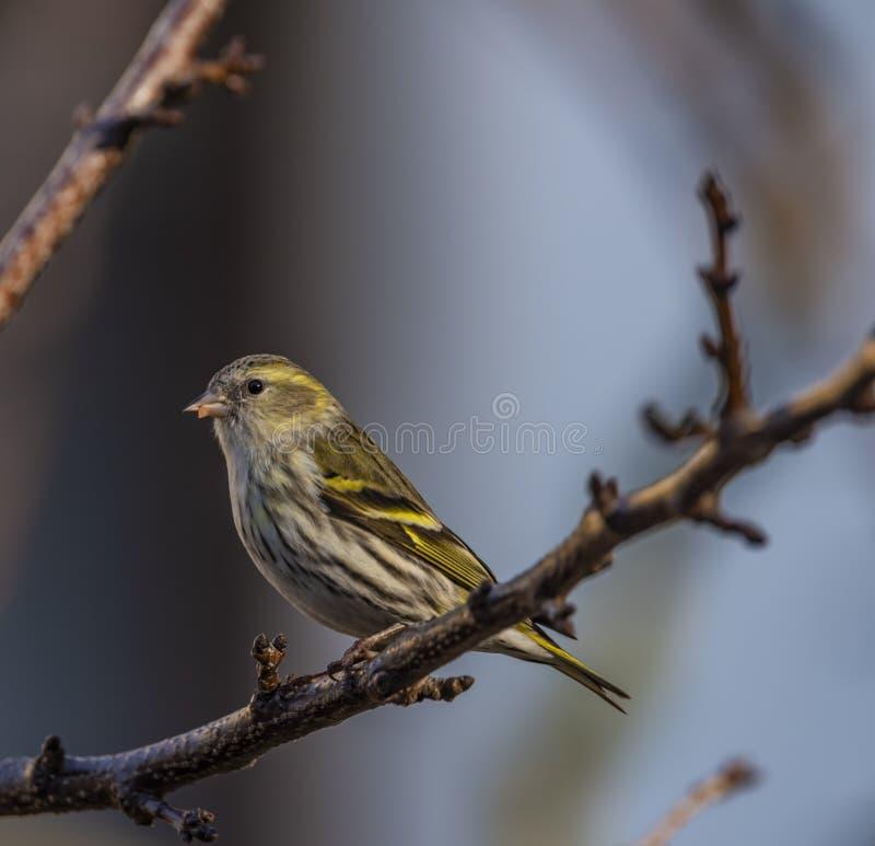 在杏树的麻雀鸟在冬天好日子 免版税图库摄影