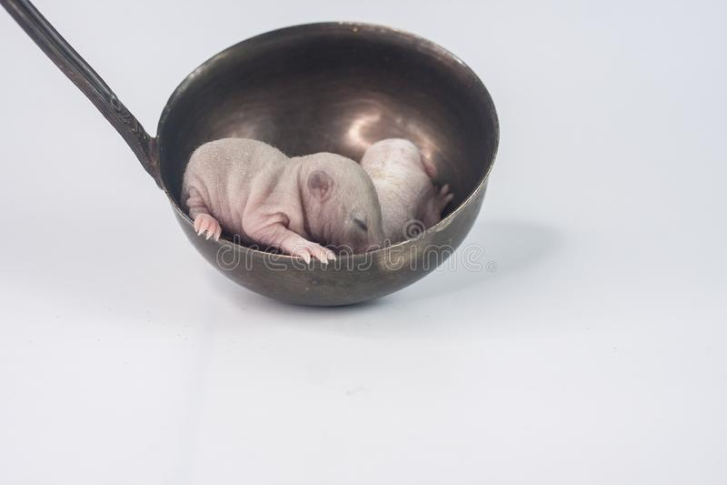 在杓子的一只鼠 新生儿崽在厨房用具在 库存照片