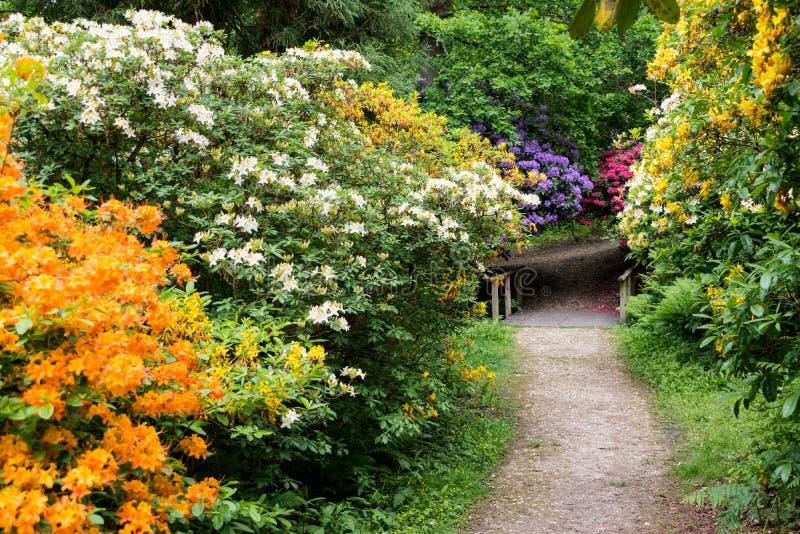在杜鹃花木头的五颜六色的杜鹃花在Leith小山地方在萨里,英国线附近小径 库存图片