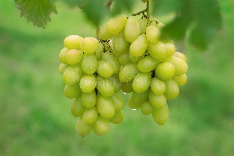 在束的新鲜的葡萄在农场 库存图片