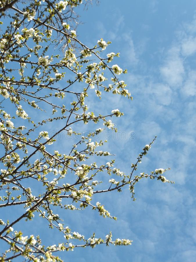 在来的树枝的小白花发芽叶子反对蓝天 图库摄影