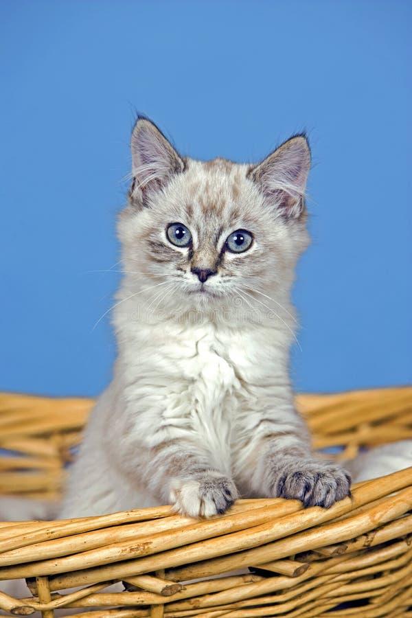 在杨柳篮子的好奇平纹小猫,观看 图库摄影