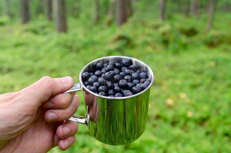 在杯子的蓝莓在杯子的森林新鲜的蓝莓在森林A杯子的人手上蓝莓 图库摄影