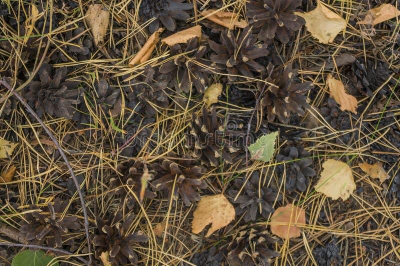 在松柏科木材的秋天地毯 库存照片