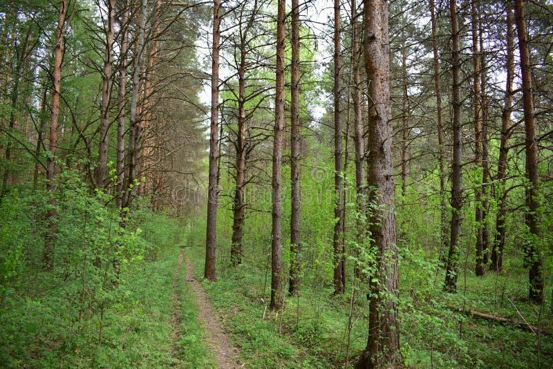 在松树下的夏天,大量空气呼吸的,地球的深绿色海洋 免版税库存照片