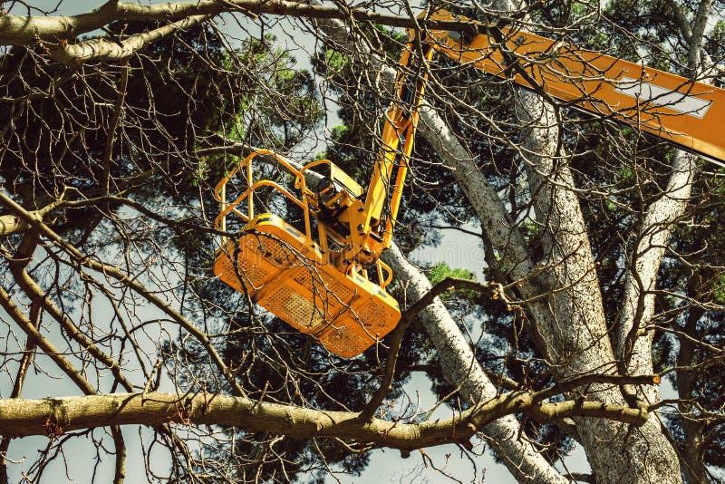 在松树分支的平台推力修剪和维护的 库存图片