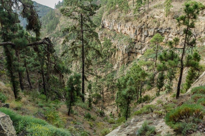 在松树围拢的山地的石道路在好日子 用几百年的杉木盖的一道狭窄的深峡谷的倾斜 图库摄影