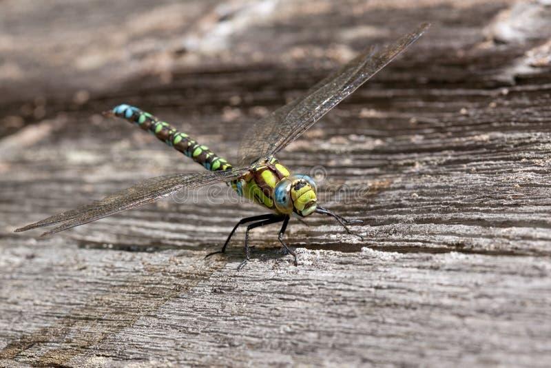 在板条的蜻蜓 库存图片