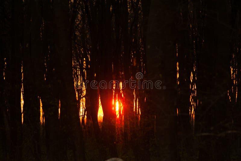 在林木的日落皮 免版税库存照片