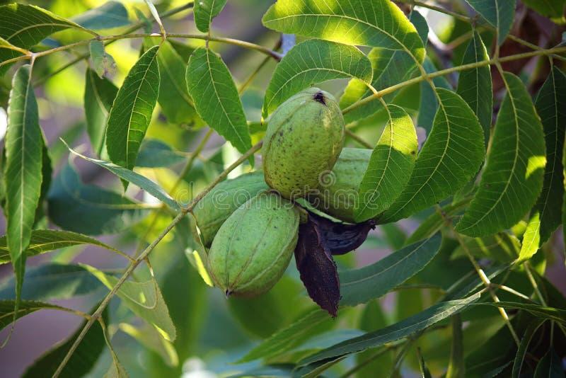在果壳的三个成熟在树成群的老果壳山核桃果和残余群  库存照片
