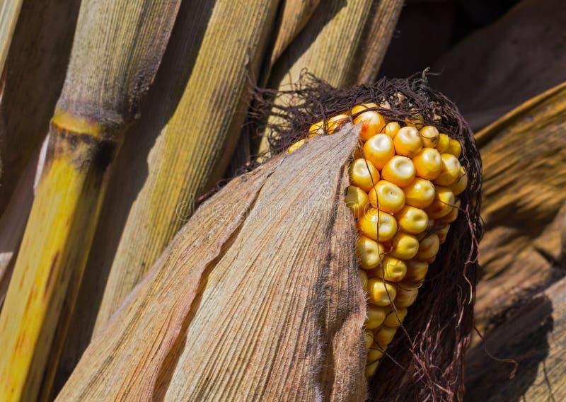 在果壳的黄色领域玉米 免版税库存照片