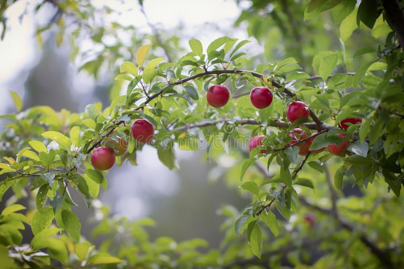在果子的重量弯曲的分支的红色成熟李子莓果 库存照片