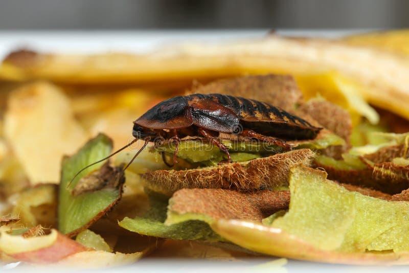 在果子食物垃圾的蟑螂在厨房里 免版税图库摄影