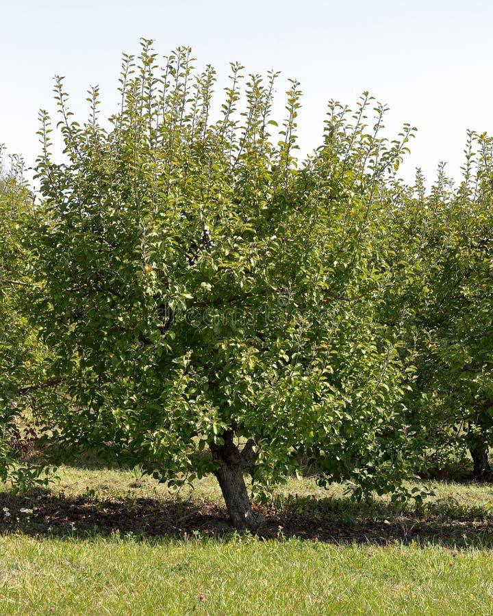 在果树园的边缘的矮小的苹果树 免版税库存图片